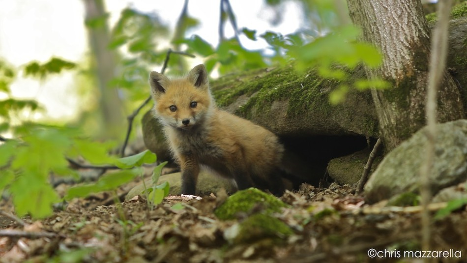 Fox Kit in Washington, Vermont