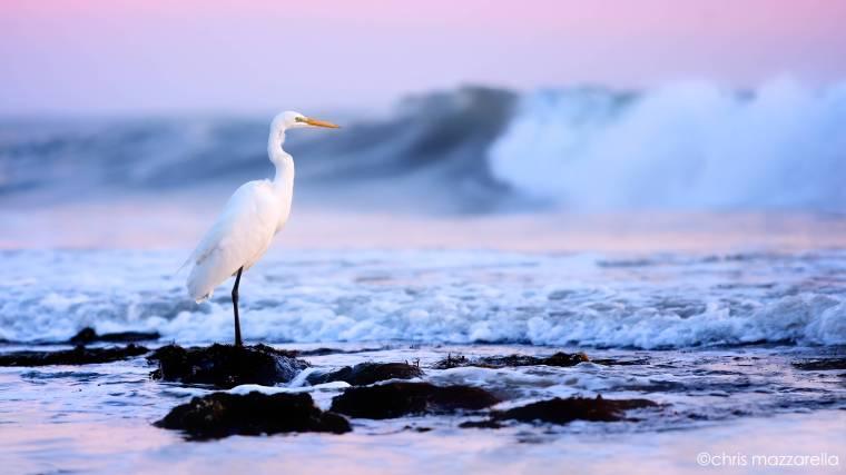 Sailor's Sky Egret