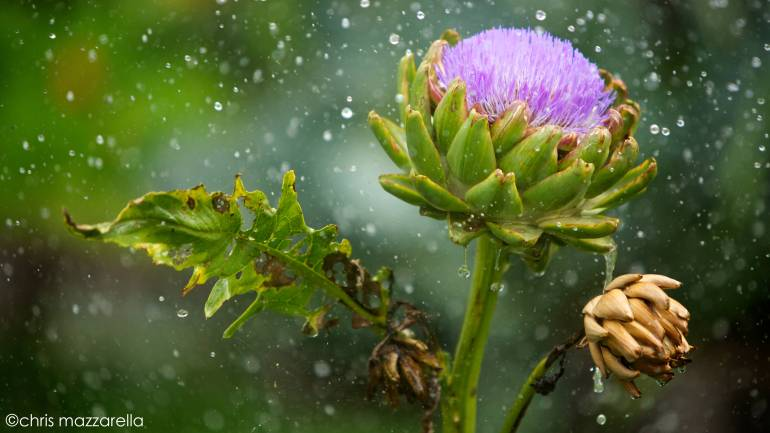 soaked artichoke