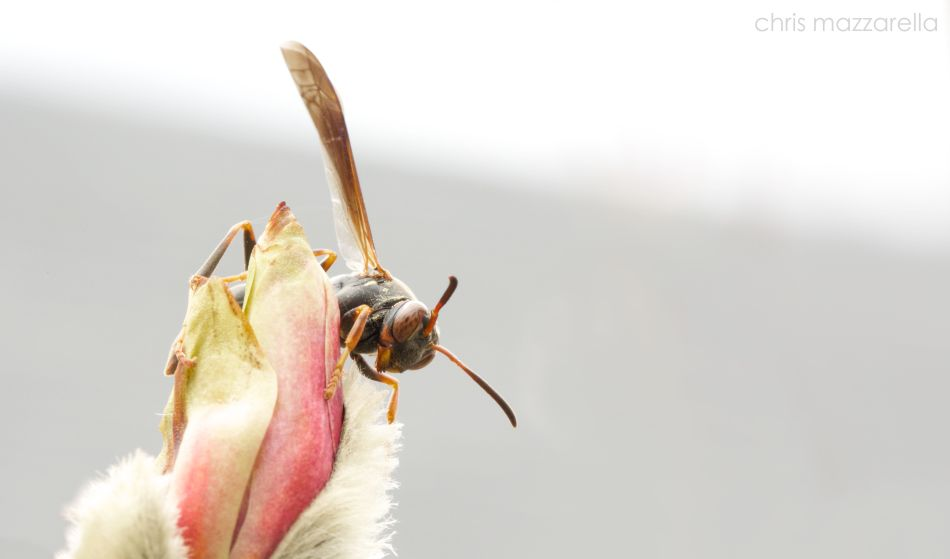 wasp on magnolia flower