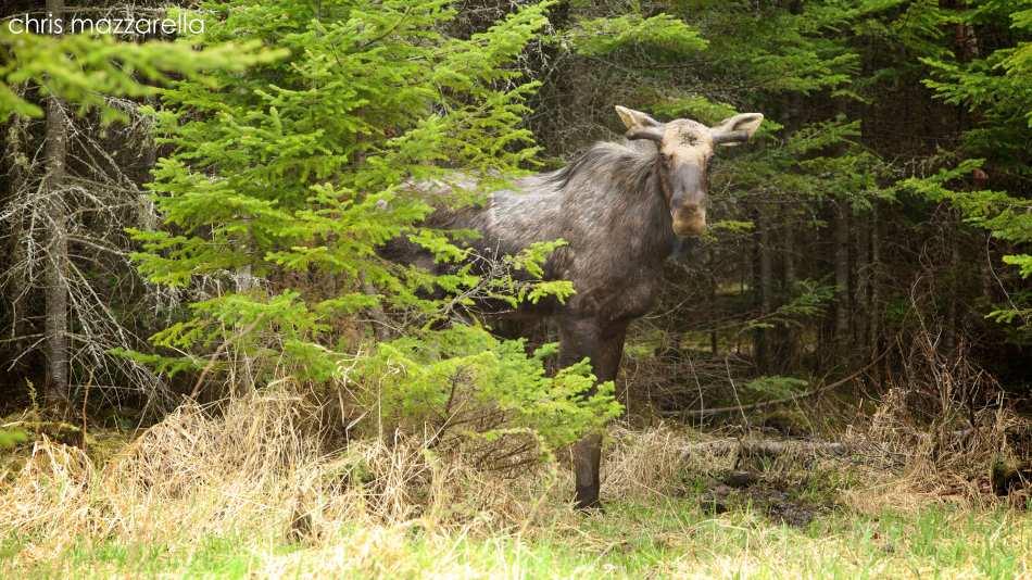 spring bull